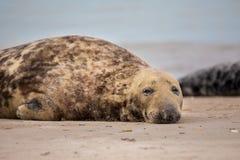 Atlantisches Grey Seal-Porträt Lizenzfreies Stockbild