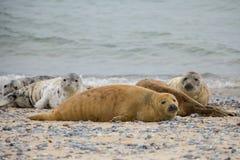 Atlantisches Grey Seal-Porträt Lizenzfreie Stockfotografie