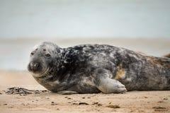 Atlantisches Grey Seal-Porträt Stockbild