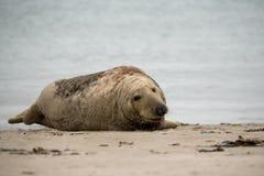 Atlantisches Grey Seal-Porträt Lizenzfreie Stockbilder