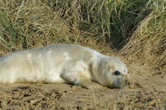 Atlantisches Grey Seal Pup Stockbild