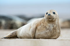 Atlantisches Grey Seal Pup (halichoerus grypus) Stockfotos