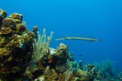 Atlantisches Trumpetfish Aulostomus maculatus, das nahe Korallenriff schwimmt Lizenzfreies Stockfoto