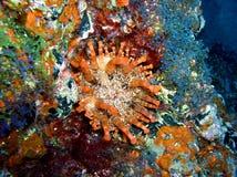 Atlantisk anemon Arkivbilder