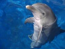 atlantisk bottlenosed delfin Royaltyfria Foton