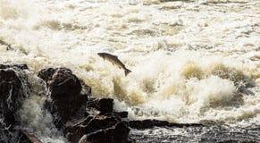 Atlantisk lax, Salmo salar som hoppar i turbulenta vattenfall i Kristiansand, Norge Arkivfoto