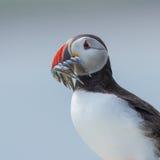 Atlantisk lunnefågel Royaltyfri Fotografi