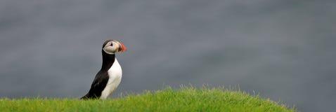 Atlantisk lunnefågel eller gemensam lunnefågel Royaltyfria Foton