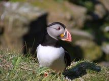 Atlantisk lunnefågel i avelfjäderdräkt Royaltyfria Foton