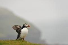 Atlantisk lunnefågel i regnet Arkivbilder