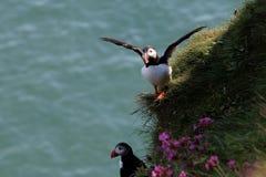 Atlantisk lunnefågel i Skottland Arkivbild