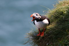 Atlantisk lunnefågel i Skottland Arkivbilder
