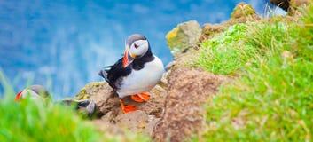 Atlantisk lunnefågel på Latrabjarg udde, Vestfirdir, Island arkivfoton