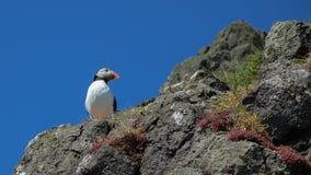 Atlantisk lunnefågel - Skomer ö arkivfoto