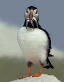 Atlantisk lunnefågel med en Beakful av fisken Arkivfoton