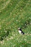 atlantisk puffin Royaltyfri Fotografi
