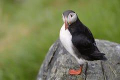 atlantisk puffin Fotografering för Bildbyråer