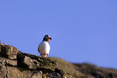 atlantisk puffin Royaltyfri Foto