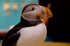 atlantisk puffin Royaltyfria Bilder