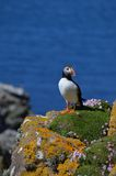 Atlantisk Puffin, Isle av Lunga, Argyll, Skottland. arkivfoto