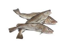 atlantisk torsk fiskar nytt Royaltyfri Bild