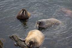 Atlantisk valross tre i grunt vatten av det Barents havet archy arkivfoton