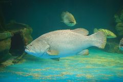Atlantiska Goliath Grouper Arkivbilder