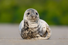 Atlantiska Grey Seal, Halichoerus grypus, detaljstående, på stranden av Helgoland, Tyskland Fotografering för Bildbyråer