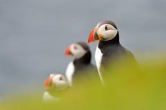 Atlantiska lunnefåglar Royaltyfri Fotografi