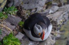 Atlantiska lunnefåglar eller gemensamma lunnefåglar i Island royaltyfri foto