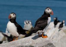 Atlantiska lunnefåglar i Maine Royaltyfri Fotografi