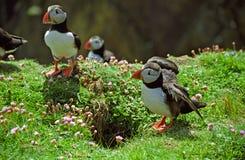 Atlantiska lunnefåglar, Shetland Arkivbild