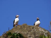 Atlantiska lunnefåglar som bygga bo i Dyrholaey, Island Royaltyfria Foton