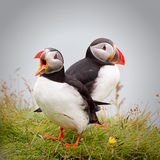 atlantiska puffins Fotografering för Bildbyråer