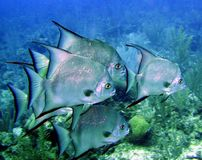 atlantiska spadefish Royaltyfri Bild