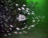Atlantiska Spadefish - få ut ur min väg Royaltyfri Foto