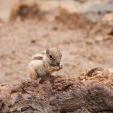 Atlantoxerus getulus, Barbary Ground Squirrel Stock Images