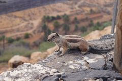 Atlantoxerus getulus - Barbary ground squirrel Royalty Free Stock Photography