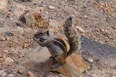 Atlantoxerus getulus - Barbary zmielona wiewiórka Fotografia Royalty Free