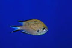 Atlantycki damselfish zdjęcie stock