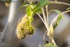 Atlantycki kanarowy Serinus Canaria karmienie Na Słonecznikowym Seedhead obraz royalty free
