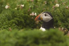 Atlantycki maskonur wynika swój norę fotografia royalty free