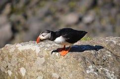 Atlantycki Maskonur, Wyspa Lunga, Argyll, Szkocja. Zdjęcia Stock