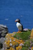 Atlantycki Maskonur, Wyspa Lunga, Argyll, Szkocja. Obrazy Stock