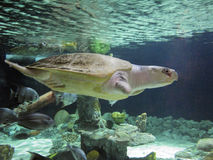 Atlantycki Ridley Denny żółw Obraz Royalty Free
