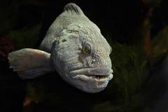 Atlantycki wolffish (Anarhichas lupus) Obrazy Stock
