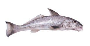 Atlantyckiego krakacza Micropogon undulatus jest gatunki żołnierz piechoty morskiej r obraz stock