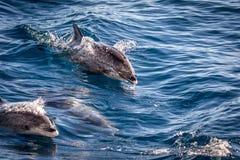 Atlantyk dostrzegał delfiny, Stenella frontalis w Atlantyckim oceanie, blisko Granu Canaria obrazy stock