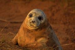 Atlantyk foki popielata ciucia z jęczącymi oczami Zdjęcia Stock