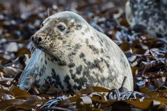Atlantyk popielata foka zdjęcie royalty free